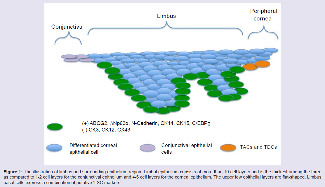 Avens Publishing Group - Limbal Stem Cells and Corneal Epithelial ...